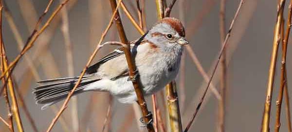 American-Tree-Sparrow---C-Routledge