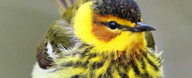 Cape May Warbler by Susie Russenberger